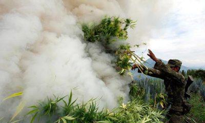 albaina-niszczy-8.2-miliardy-marijuana