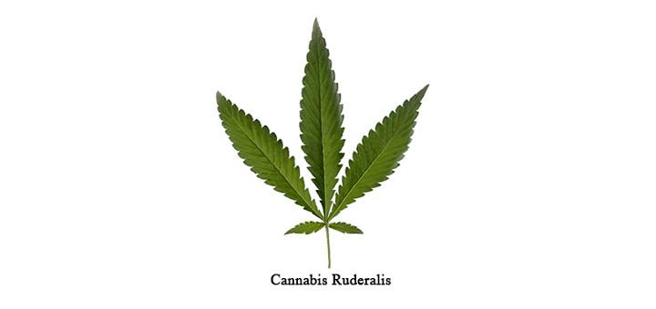 cannabis-ruderalis