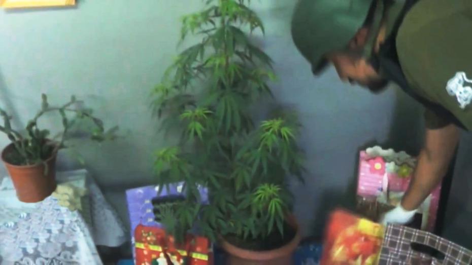 choinka-z-marihuany