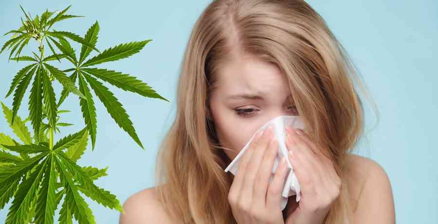 alergia na marihuane