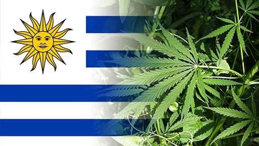 legalna marihuana w Urugwaju ma jednak wady