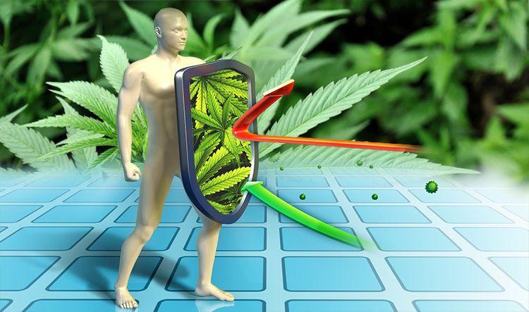 Czy używanie marihuany wpływa na działanie układu odpornościowego?