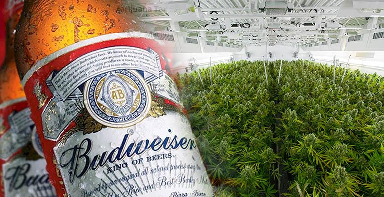 Producent piwa Budweiser podpisuje 100 milionowy kontrakt z producentem marihuany