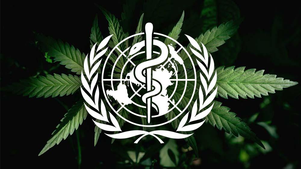 Światowa Organizacja Zdrowia zaleca reklasyfikacje marihuany