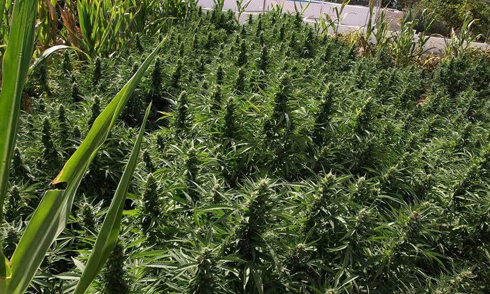 Odmiany marihuany na outdoor, które dają duże plony
