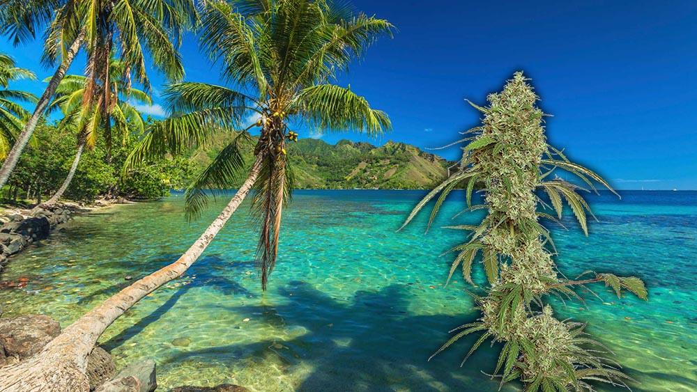 Hawaje dekryminalizuja posiadanie niewielkich ilości marihuany
