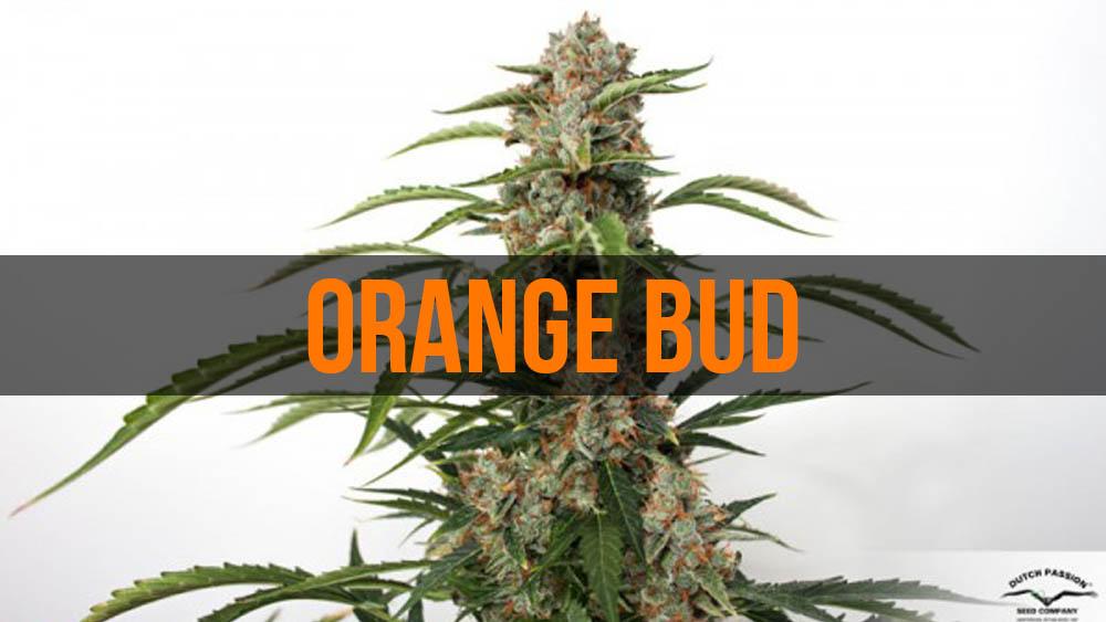 Orange Bud - legendarna odmiana mariuhany