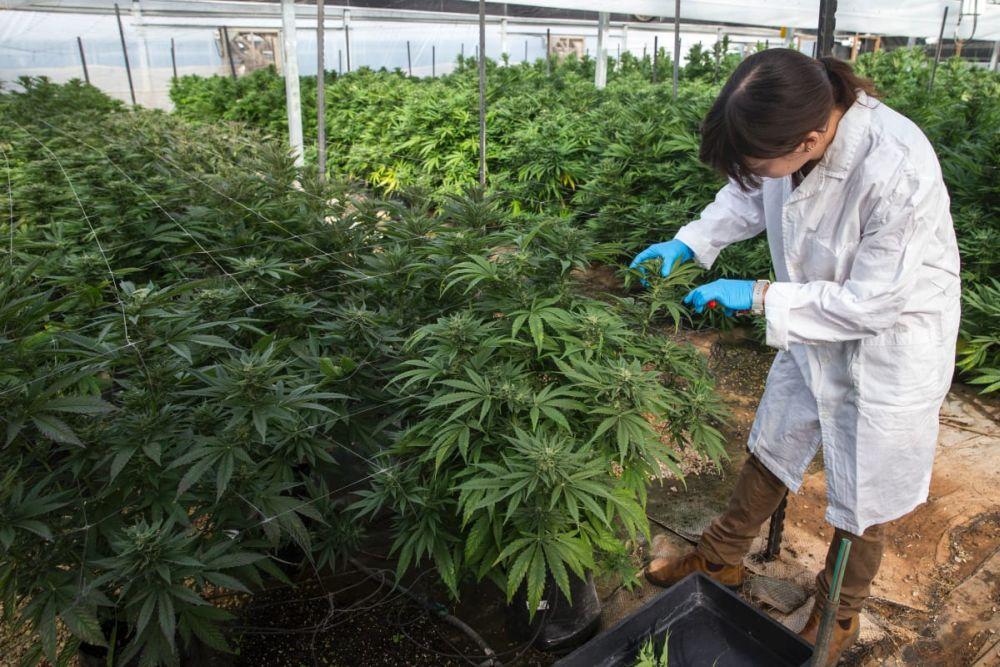 Tajlandia zezwoli obywatelom na uprawę i sprzedaż marihuany