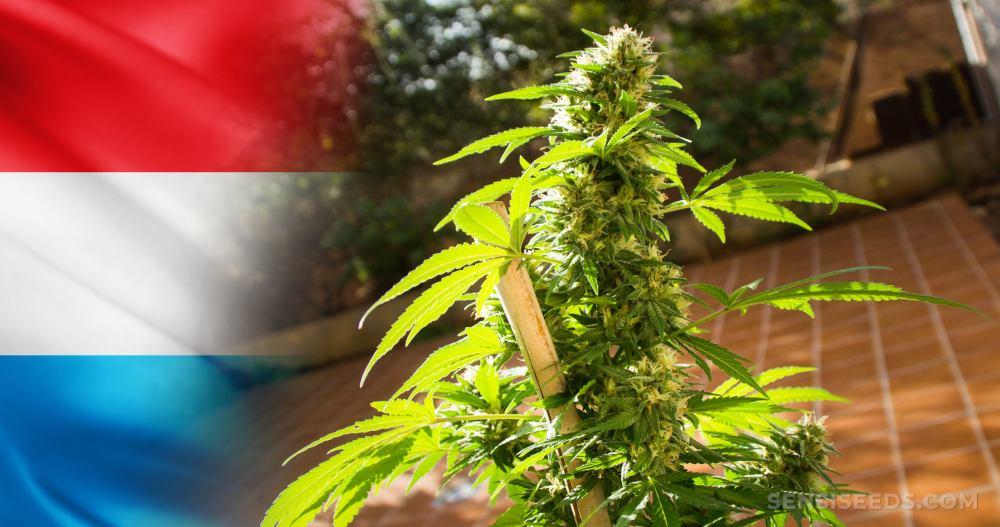Ministerstwo Zdrowia w Luksemburgu ogłosiło plan legalizacji marihuany