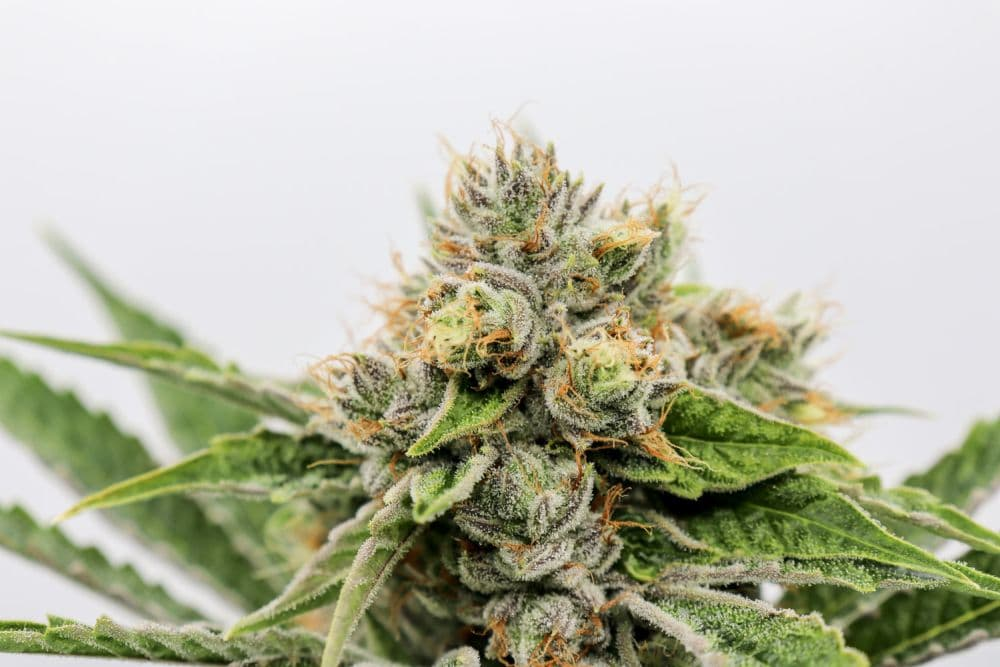 Konsumenci marihuany potrzebują wiecej wiedzy o konopiach